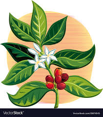 coffee plant illustration vector. Simple Coffee For Coffee Plant Illustration Vector T