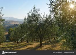 olive tree in italy harvesting time sunset olive garden detai stock photo