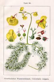 Utricularia - Wikipedia