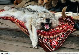 wolf skin rug in market faux stock photo