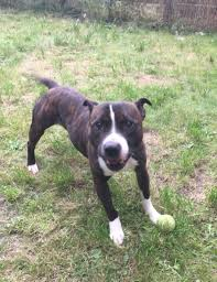 old Male Staffordshire Bull Terrier