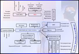 Лекция Возрастные особенности и гигиена нервной системы  Возрастные особенности и гигиена нервной системы