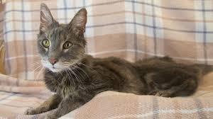 what should i feed my hyperthyroid cat