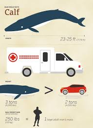 Whales By Size Chart Blue Whale Size Comparison How Big Are They Compared To Humans