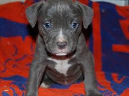terrier pitbull mix puppies. Interesting Terrier With Terrier Pitbull Mix Puppies T
