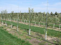 a drip irrigation system supplies a small amount of near the base of each tree
