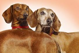 daschsund dogs