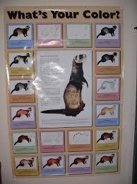 Ferret Color Chart Ferret Color Chart I Was So Excited To Find This On Ebay