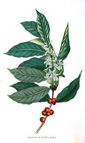 coffee plant illustration vector. Interesting Coffee Resultado De Imagem Para Coffee Plant Vector Inside Coffee Plant Illustration Vector E