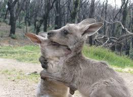 kangaroo hug,source, museum victoria