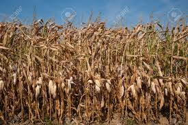 Field of dried corn stalks Stock Photo - 5958093