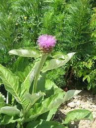 Rhaponticum scariosum rhaponticum PFAF Plant Database