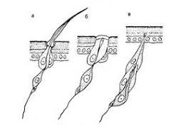 Хеморецепция восприятие вкуса запаха Зоология Реферат  Рис 45 Типы сенсилл а чувствительный волосок б колоколовидная сенсилла в хордотональный орган