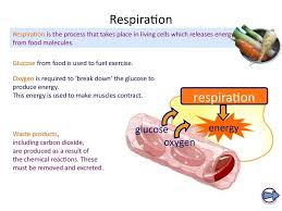 photosynthesis amp cellular respiration worksheet answers also ks4 biology the breathing system