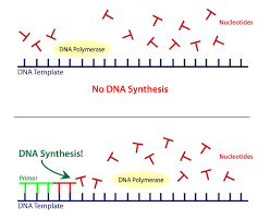 Dna Replication Definition How Does Dna Polymerase Work Socratic
