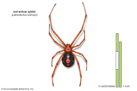 9 of the World's Deadliest Spiders | Britannica.com