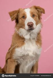 Portrait Red Border Collie Dog Looking ...