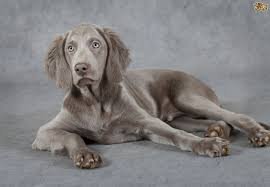 A Feeding Guide For Weimaraners Pets4homes