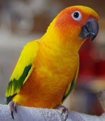 Baby Sun Conure Photo Diary Dars Little Gems