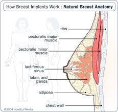 Breast Enhancement Size Chart Anatomy Of A Breast How Breast Implants Work Howstuffworks