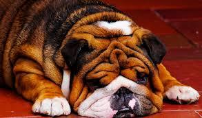 enter english bulldog puppies page here i am an english bulldog