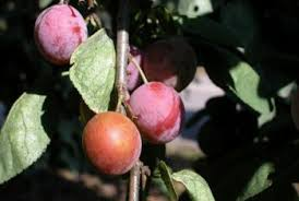 How Often Should I Water My Purple Plum Tree? | Home Guides | SF Gate