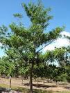 elaeocarpus grandis
