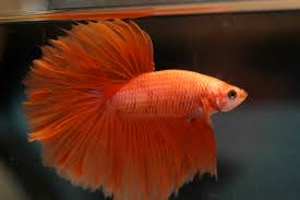 Betta Fish Chart Siamese Fighting Fish Wikipedia