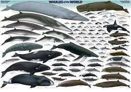 Vallarta Whale Chart Puerto Vallarta Whale Watching Tours