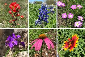 Flower Species Chart Texas Hill Country Wildflower Identification Guide