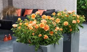 whartons garden roses whole