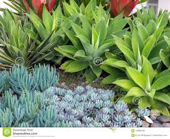 a groomed garden feature with a variety of small succulent cactus plants and larger pointy green agave attenuata plants