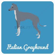 Italian greyhound dog Vector Image ...
