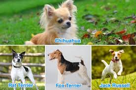 Rat Terrier Size Chart Chihuahua Terrier Mix What Its Like To Own One All