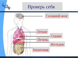 ПРЕЗЕНТАЦИЯ ПО ФИЗИЧЕСКОЙ КУЛЬТУРЕ НА ТЕМУ ТВОЙ ОРГАНИЗМ КЛАСС  слайда 8 Проверь себя Головной мозг Лёгкие Сердце Печень Желудок Кишечник