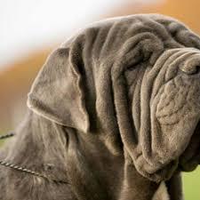 Neapolitan Mastiff Size Chart Full List Of Mastiff Dog Breeds