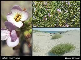 Cakile maritima Scop.: FloraBase: Flora of Western Australia