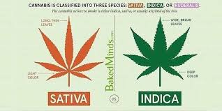 Sativa And Indica Chart Difference Between Sativa Indica Marijuana Strains