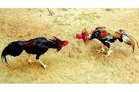 Image result for sabung ayam
