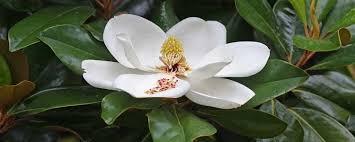 Cuidados del magnolio (Magnolia grandiflora) - Antes Todo Esto Era Campo
