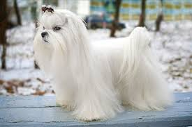 Teacup Maltese Growth Chart Maltese Dog Breed Information Pictures Characteristics
