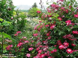 pics and comment | Rose bush, Rose, Healthy horses