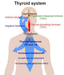 Thyroid Hormone Flow Chart The Thyroid Gland Boundless Anatomy And Physiology