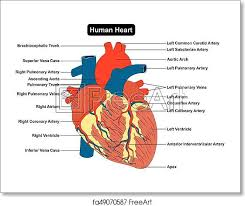 Anatomy Of The Heart Chart Free Art Print Of Human Heart Muscle Structure Anatomy Diagram