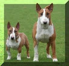 miniature bull terrier.  Miniature Miniature Bull Terrier Vs Standard  Google Search Intended Miniature Bull Terrier E