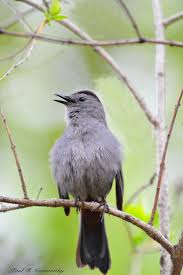 best birds mimidae mockingbirds thrashers new world  grey cat bird by paul r