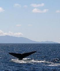 aquarium of the pacific education program blue whale and sea  blue whale fluke