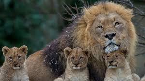 lion wallpaper 76d