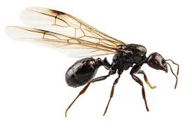 flying ant niger lausius