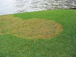 Brown Patch Disease Identifying Florida Lawn Diseases Turf Masters Landscape
